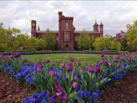 The red brick Smithsonian castle is pictured in the background. In the foreground, bright blue and purple tulips are seen in the Haupt garden. Between the castle and the tulips is bright green grass.